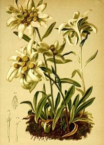 427px-Gnaphalium_leontopodium_Atlas_Alpenflora
